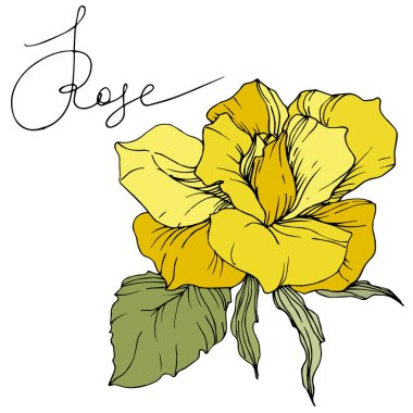 Beautiful yellow rose flower with green leaves. Isolated rose illustration element. Engraved ink art.