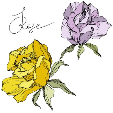 Vector. Purple and yellow rose flowers isolated on white background. Green leaves. Engraved ink art. stock vector