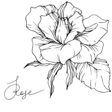 Beyaz arka plan üzerinde izole güzel vektör gül çiçek. Siyah ve beyaz mürekkep sanat kazınmış.