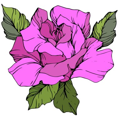 Vector. Beautiful purple rose flower with green leaves isolated on white background. Engraved ink art. clip art vector