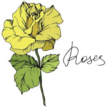 Güzel sarı gül çiçek yeşil yaprakları ile. Gül illüstrasyon izole öğesi. Oyulmuş mürekkep sanat.