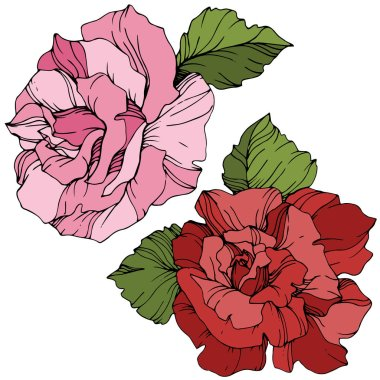 Vector. Pink and red rose flowers with green leaves isolated on white background. Engraved ink art. stock vector