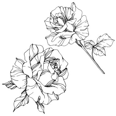 Beautiful vector rose flowers isolated on white background. Black and white engraved ink art. clip art vector