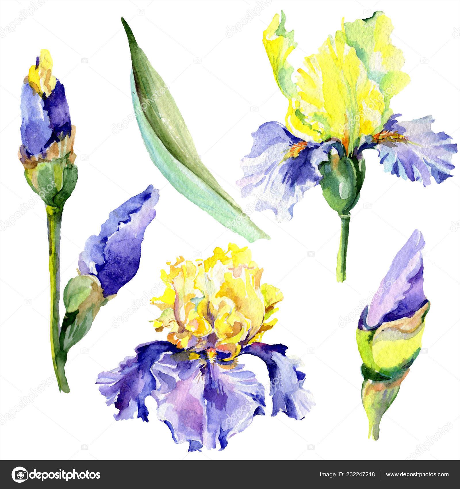 Fialove Zlute Kosatce Jarni Kvetiny Izolovane Bilem Sada Akvarel