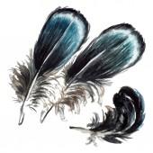 schwarze Federn Aquarellzeichnung. Vereinzelte Illustrationselemente.