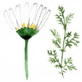 Fotografie Heřmánkový květ a list. Jarní bílé wildflower izolované. Sada akvarel pozadí obrázku. Akvarel, samostatný výkresu módní aquarelle. Prvek ilustrace izolované heřmánek