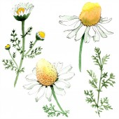 Chamomile flowers and leaves. Watercolor background illustration set. Watercolour drawing fashion aquarelle isolated. Isolated chamomile illustration element.
