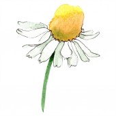 Chamomile flower. Spring white wildflower isolated. Watercolor background illustration set. Watercolour drawing fashion aquarelle isolated. Isolated chamomile illustration element.