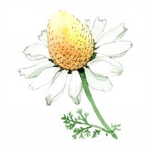 Fotografie Chamomile flower. Spring white wildflower isolated. Watercolor background illustration set. Watercolour drawing fashion aquarelle isolated. Isolated chamomile illustration element.
