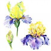 Fotografie Purple yellow irises. Spring flowers isolated on white. Watercolor background illustration set. Watercolour drawing fashion aquarelle isolated.