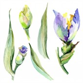 Purple yellow irises. Spring buds isolated on white. Watercolor background illustration set. Watercolour drawing fashion aquarelle isolated.