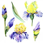 Purple yellow irises. Spring flowers isolated on white. Watercolor background illustration set. Watercolour drawing fashion aquarelle isolated.
