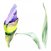 Purple yellow iris. Spring bud isolated on white. Watercolor background illustration set. Watercolour drawing fashion aquarelle isolated.