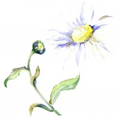 Fotografie Daisy flowers. Watercolor background illustration set. Watercolour drawing fashion aquarelle isolated. Isolated daisy illustration element.