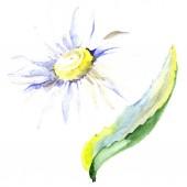 Daisy flower. Watercolor background illustration set. Watercolour drawing fashion aquarelle isolated. Isolated daisy illustration element.