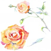 Narancs rózsaszín virágok. Akvarell háttér illusztráció készlet. Akvarell rajz divat aquarelle elszigetelt. Elszigetelt Rózsa ábra elem.
