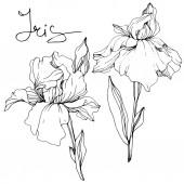 Vektorové květiny Iris. Květy, izolované na bílém. Černá a bílá vyryto inkoust umění s nápisem iris
