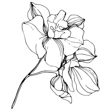 Vector Orchids. Wildflower isolated on white. Black and white engraved ink art clip art vector