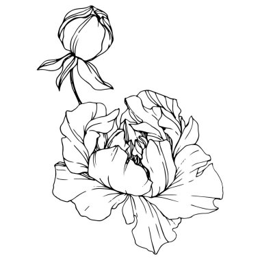 Vector Peonies. Wildflowers isolated on white. Black and white engraved ink art stock vector