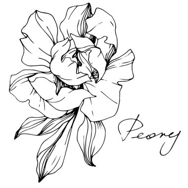Vector Peony. Wildflower isolated on white. Black and white engraved ink art with 'peony' lettering clip art vector