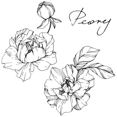 Vector Peonies. Wildflowers isolated on white. Black and white engraved ink art with 'peony' lettering stock vector