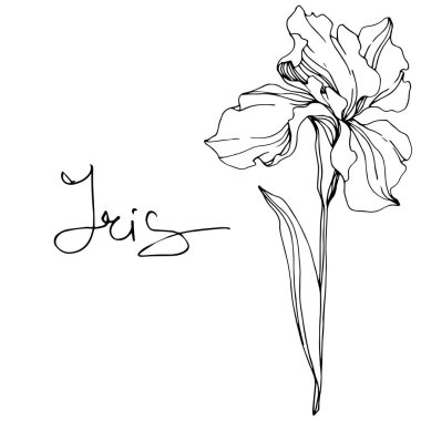 Vector Iris flower. Wildflower isolated on white. Black and white engraved ink art with 'iris' lettering stock vector