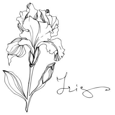 Vector Iris flower isolated on white. Black and white engraved ink art with 'iris' lettering stock vector