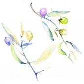 Sada olivy akvarel pozadí obrázku. Izolované oliv s listy ilustrace prvky.