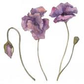 Lila virágos botanikai mákgubóból. Vad tavaszi levél elszigetelt. Akvarell háttér illusztráció készlet. Akvarell rajz divat aquarelle elszigetelt. Elszigetelt Pipacsok ábra elem.