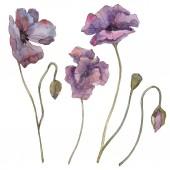 Fialový máku květinové botanické květ. Divoký jarní listové izolované. Sada akvarel pozadí obrázku. Akvarel, samostatný výkresu módní aquarelle. Prvek ilustrace izolované mák.