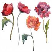 Piros pipacs floral botanikus virág. Vad tavaszi levél vadvirág elszigetelt. Akvarell háttér illusztráció készlet. Akvarell rajz divat aquarelle elszigetelt. Elszigetelt mák ábra elem.