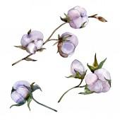 Lila pamut elszigetelt fehér. Akvarell háttér illusztráció készlet.