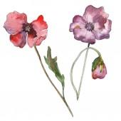 Lila piros virágos botanikai mákgubóból. Vad tavaszi levél elszigetelt. Akvarell háttér illusztráció készlet. Akvarell rajz divat aquarelle elszigetelt. Elszigetelt Pipacsok ábra elem