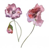 Fialový červeného máku květinové botanické květ. Divoký jarní listové izolované. Sada akvarel pozadí obrázku. Akvarel, samostatný výkresu módní aquarelle. Prvek ilustrace izolované mák