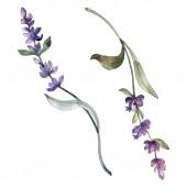 Fotografie Fialové izolované levandulové květy. Akvarel, ilustrace prvky