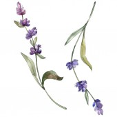 Fotografie Purple isolated  lavender flowers. Watercolor illustration elements.