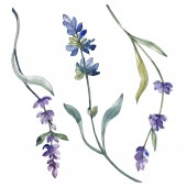 Purple isolated  lavender flowers. Watercolor illustration elements.