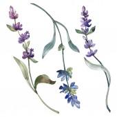 Fialové izolované levandulové květy. Akvarel, ilustrace prvky