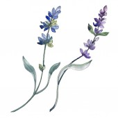 Elszigetelt levendula lila virágok. Akvarell ábra elemei