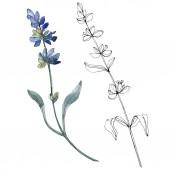 Elszigetelt levendula lila virágok. Akvarell ábra elemei.