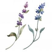 Fényképek Elszigetelt levendula lila virágok. Akvarell ábra elemei