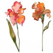 Piros virág botanikai Irisz. Vad tavaszi levél vadvirág elszigetelt. Akvarell háttér illusztráció készlet. Akvarell rajz divat aquarelle elszigetelt. Elszigetelt iris ábra elem.