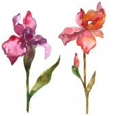 Lila és a piros virágos botanikai Irisz. Vad tavaszi levél vadvirág elszigetelt. Akvarell háttér illusztráció készlet. Akvarell rajz divat aquarelle. Elszigetelt iris ábra elem.