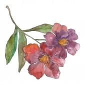 Červené a fialové camellia izolované na bílém. Prvek akvarel pozadí obrázku.