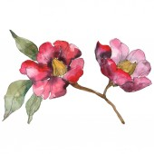 Isolated red camellia flowers with green leaves. Watercolor illustration set.
