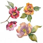 Fényképek Elszigetelt narancssárga és piros camellia virág, zöld levelekkel. Akvarell illusztráció készlet