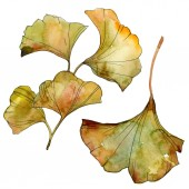 Yellow and green ginkgo biloba isolated leaves. Watercolor background illustration set.