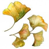 Žlutá a zelená Gingo biloba, samostatný listy. Sada akvarel pozadí obrázku.