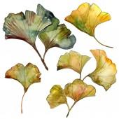 Gelbe und grüne Ginkgo biloba isolierte Blätter. Aquarell Hintergrund Illustration Set.
