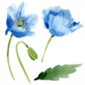 Blue poppies with leaf watercolor illustration with isolated on white
